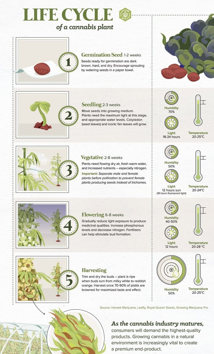 Learn more about the Cannabis Plant Life Cycle !